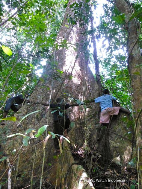 Pohon Bodhi Kecil Sedang Besar nasib kepulauan aru habis tebu terbitlah izin hph mongabay co id
