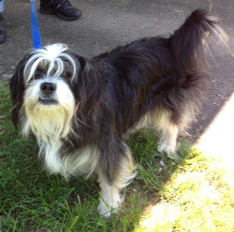 tibetan terrier shih tzu mix tibetan terrier mix pic breeds picture