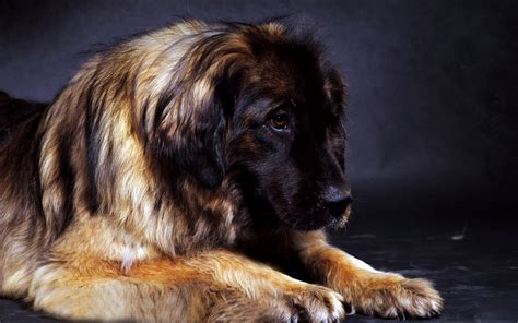 leonberger dog   wallpapers hd desktop