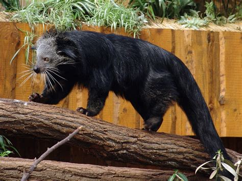 binturong facts history  information  amazing pictures