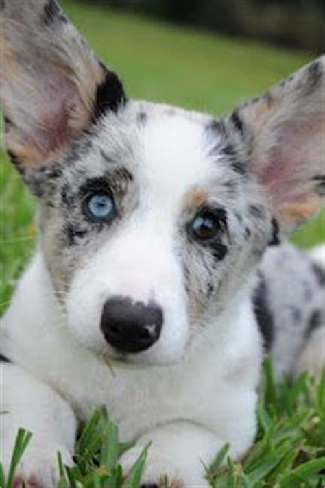 blue merle corgi puppies blue merle cardigan corgi puppy d awwww beautiful spikes and puppys