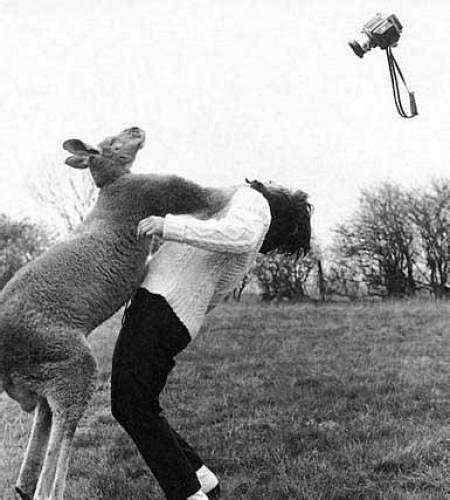 kangaroo punch images punches kangaroo