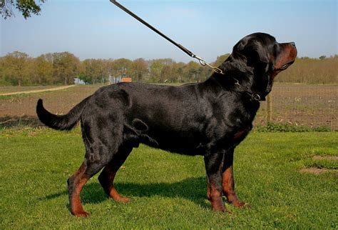 rottweiler original bloodline should you consider importing a german rottweiler gt puppy toob