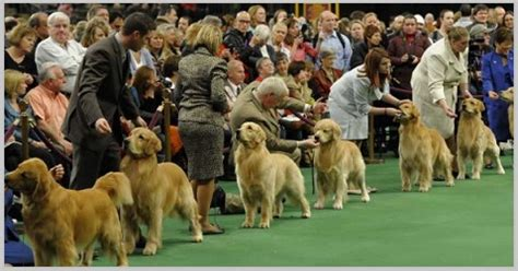 show golden retriever what to expect at a golden retriever show golden retriever