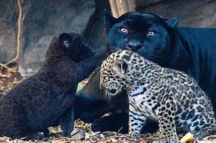 How Many Babies Does A Jaguar Panther Wildlifehaze