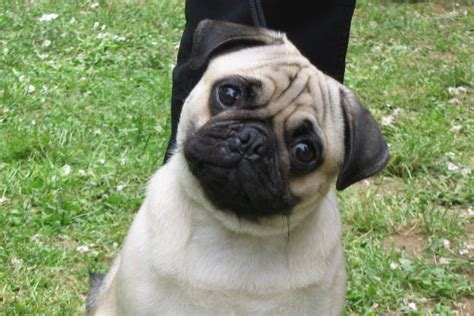 are pugs to pug definition and meaning