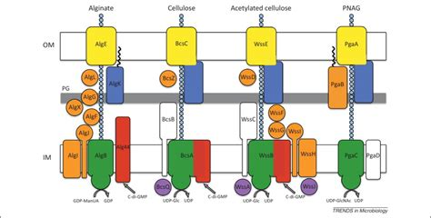 protein x is an unknown membrane protein synthase dependent exopolysaccharide secretion in gram