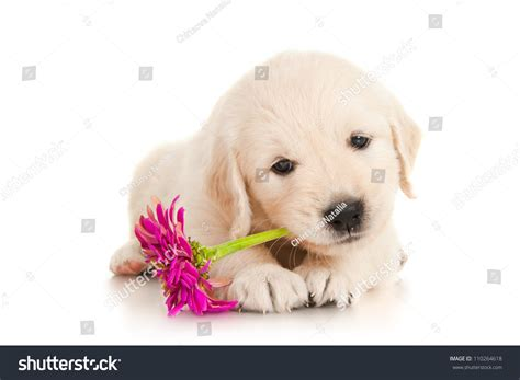 show me pictures of baby golden retrievers golden retriever puppy flower stock photo 110264618