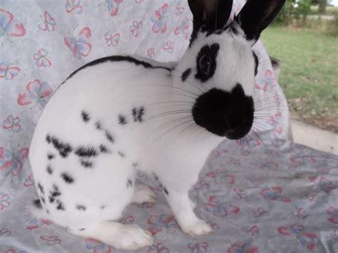 conejo ingles manchado imagenes  fotos