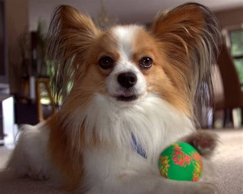 what age can dogs puppies at what age can you breed a papillon