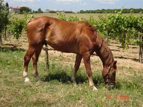 alimentazione cavallo l alimentazione dei cavalli