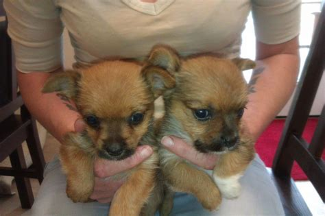 chorkie puppies for sale chorkie puppies for adoption quotes