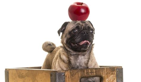 apples ok for dogs are apples safe for dogs what all owners need to page 2 of 2 leashes