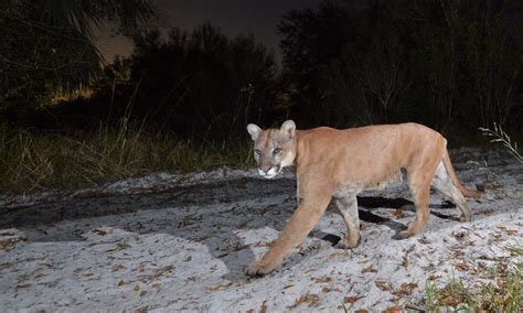 florida panther defenders  wildlife