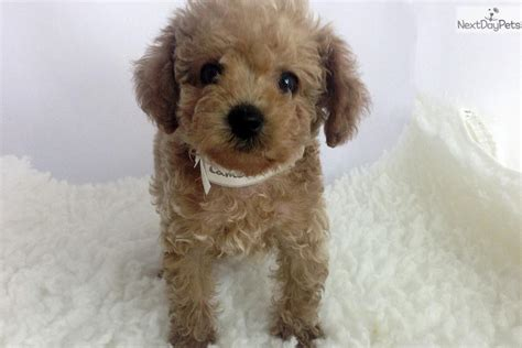 maltipoo puppies for sale los angeles maltipoo puppies for sale maltipoo breeders maltipoo pictures breeds picture