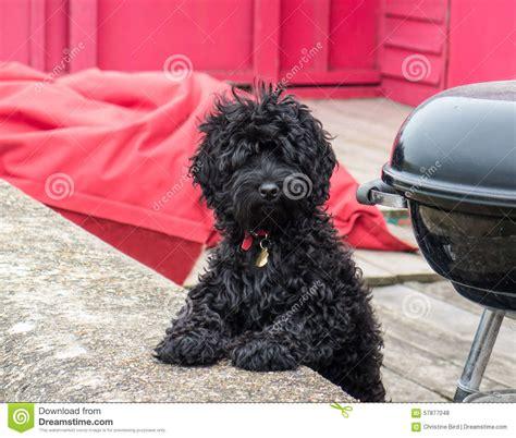 black fluffy puppy black fluffy dogs www imgkid the image kid has it