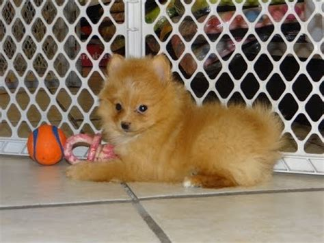 pomeranian puppies for sale el paso not puppyfind craigslist oodle kijiji hoobly ebay marketplace