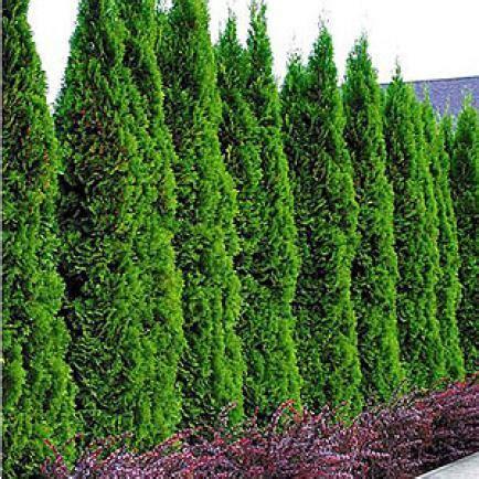langsam wachsende thuja lebensbaum und scheinzypresse r 252 ckschnitt mein sch 246 ner