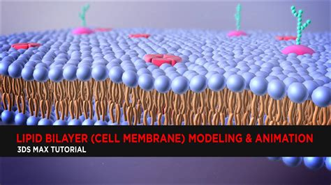 lipid bilayer cell membrane modeling animation