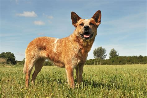 cattle dogs australian cattle breed information pet365