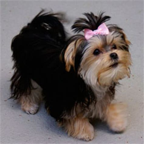 how much is a purebred yorkie designer puppies morkies maltipoos maltipoos and more