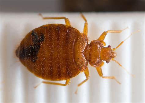 bed bugs transfer bedbug genome uncovers biology of a pest on the rebound