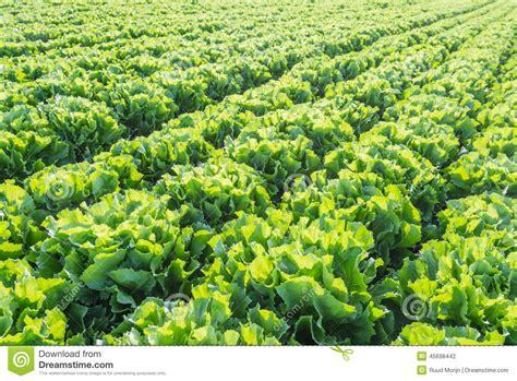 low sunlight plants rows of endive plants at a market garden stock photo