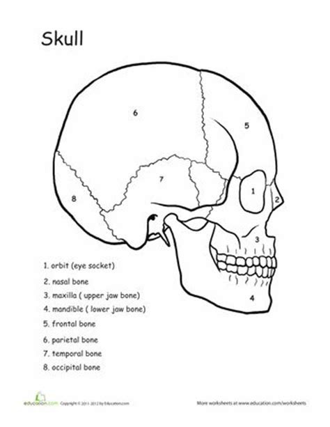 anatomy coloring pages skull the world s catalog of ideas