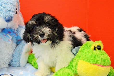 tri colored havanese royal flush havanese puppies for sale