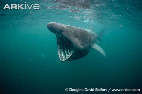 baby shark urban dictionary 晒太阳的鲨鱼 姥鲨 basking shark 鸟类网