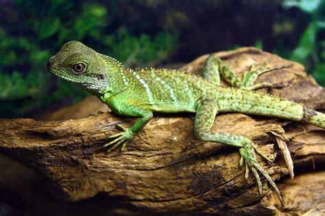 water lizard lizard species profile page