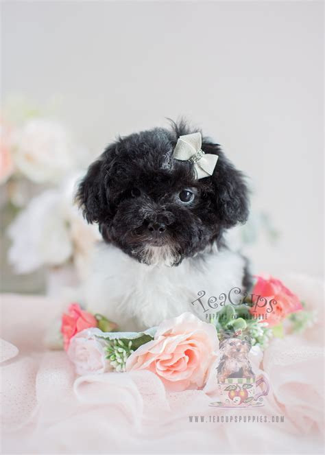 havanese puppies south florida havanese puppies for sale in south florida teacups puppies boutique