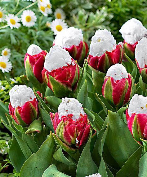 acquista fiori acquista tulipani a fiore doppio bakker