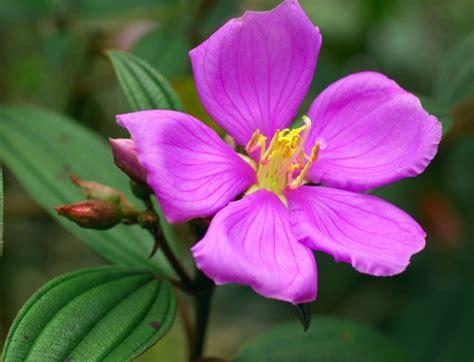 ciri ciri  khasiat tanaman herbal senggani bibitbungacom