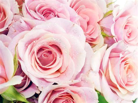 google pink roses розы скачать бесплатно розы фото картинки