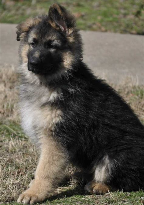 pomeranian german shepherd mix puppies german shepherd pomeranian mix