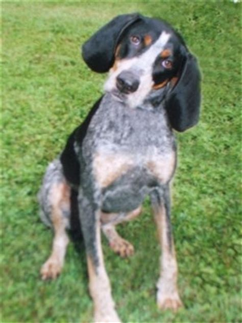 blue tick hound my granddaddy s blue tick hound blue could tree a squirrel lickity split all