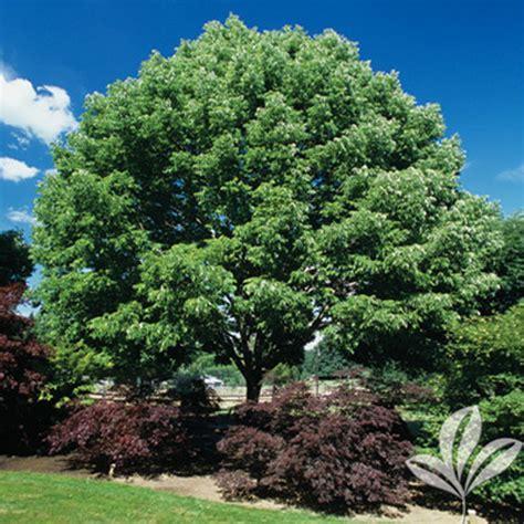 fan tex ash tree arizona ash texas pecan nursery