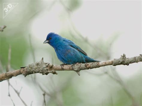 indigo bunting 3d 174 pet products3d 174 pet products