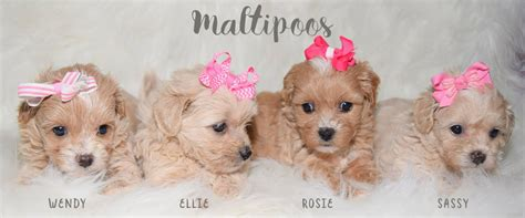 maltipoo pomeranian puppies emily s pups maltese yorkie poodle maltipoo shih