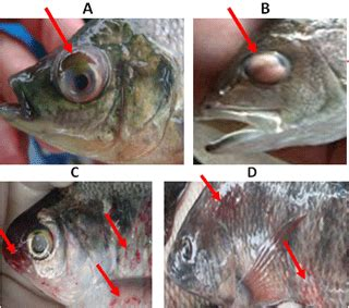 Bibit Ikan Gurame Empang Fahrul vaksinasi ikan catfish fabrication