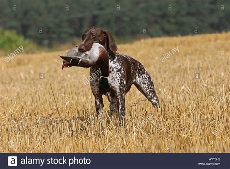 how to your to retrieve ducks german shorthaired pointer retrieving dead duck stock photo royalty free image