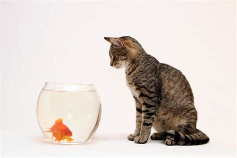 can dogs eat goldfish cat goldfish