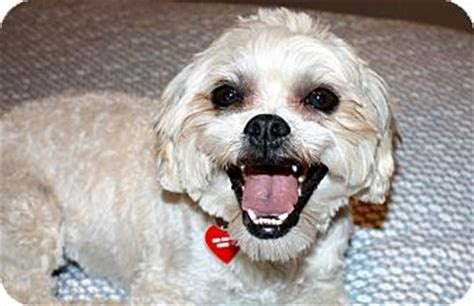 Do Lhasa Apso Shed griffin i do not shed adopted yorba ca lhasa apso brussels griffon mix