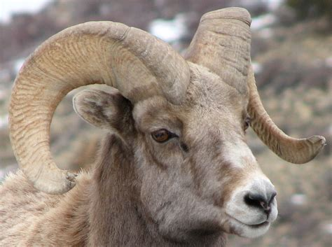new year animal ram how to age bighorn sheep of the ruby mountains elko