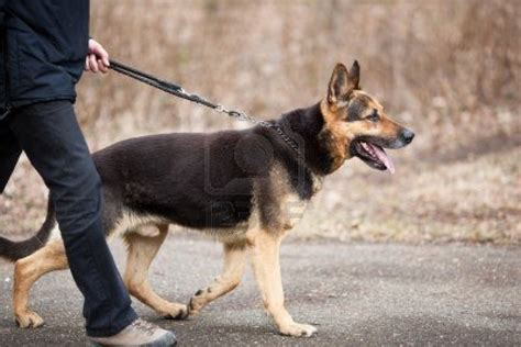 How To Deal With German Shepherd Shedding by German Shepherd Breeds Alphabetical