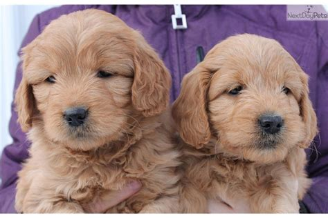goldendoodle puppies for sale in louisiana goldendoodle puppy for sale near la salle co illinois