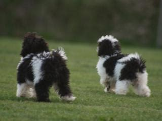 pugs for sale geelong for sale parti poodles