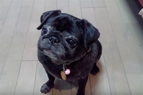 senior pug this senior pug knows who the house now listen to those whines lol