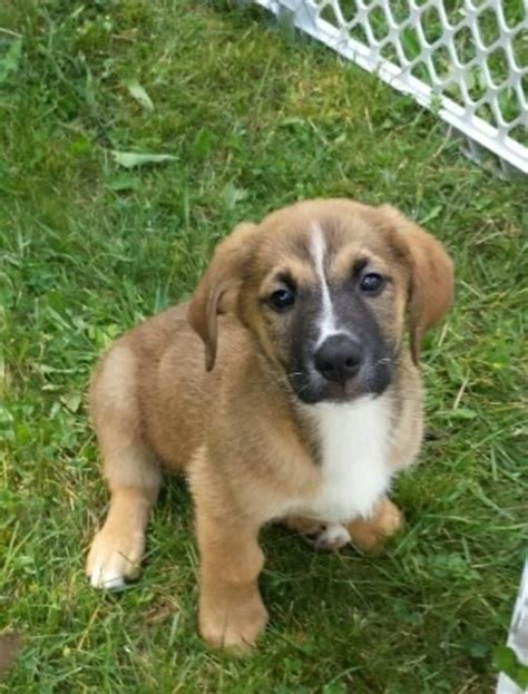 golden retriever st bernard mix golden st bernard golden retriever mix info puppies pictures